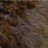 labradoodle coat hair