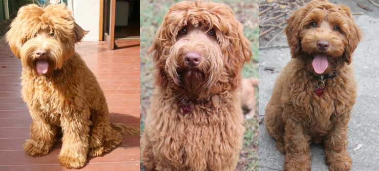 labradoodles colour caramel